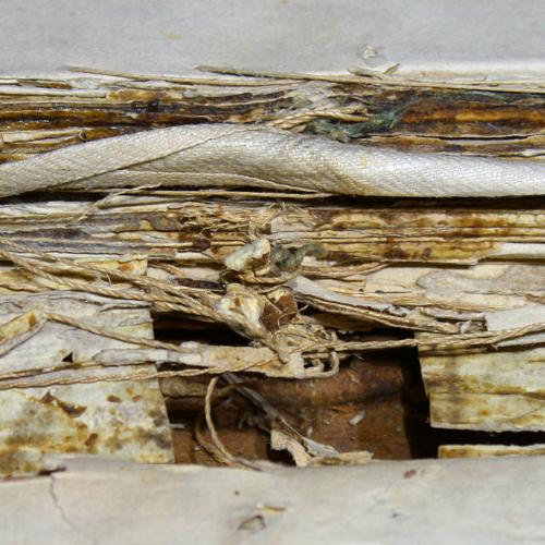 septumdolorum2.jpg